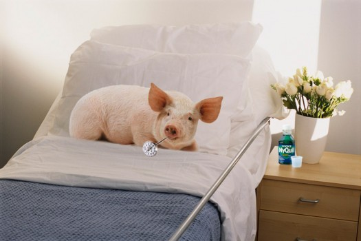 Dolly the pig